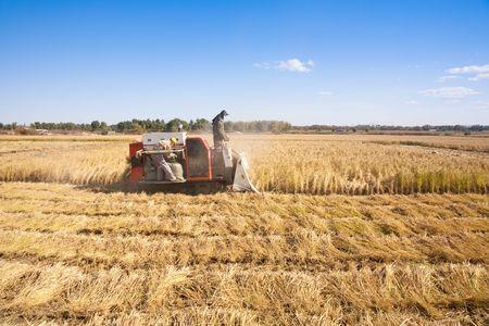Farm worker cutting rice photo
