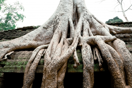 Overgrowned trees at Ta Prohm Temple, Cambodia photo