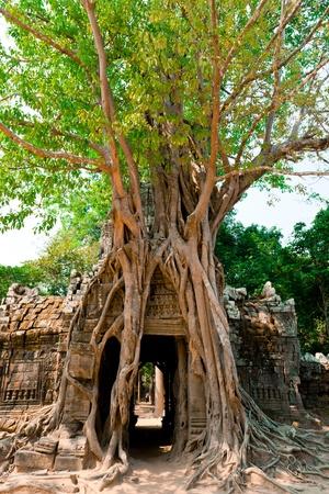 Ta Som Temple, nearly covered by giant trees, Angkor, Cambodia photo