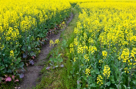 oilseed: Country road through oilseed blossom