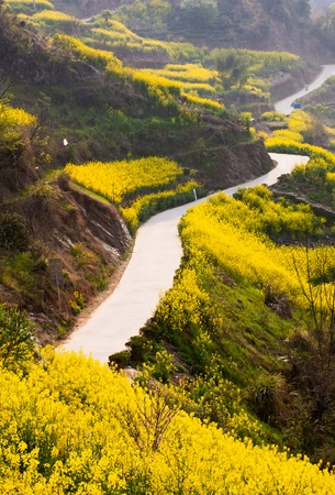 oilseed rape: Country road through oilseed blossom field up to the mountain Stock Photo