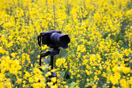 oilseed: Camera in oilseed blossom field