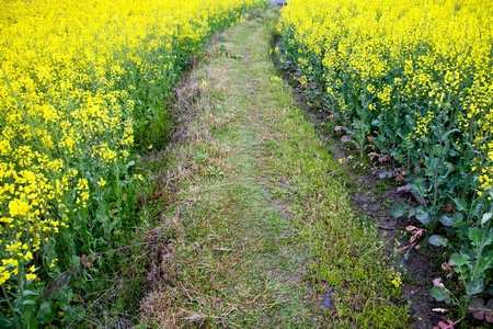 single lane road: Footpath through oilseed blossom in spring Stock Photo