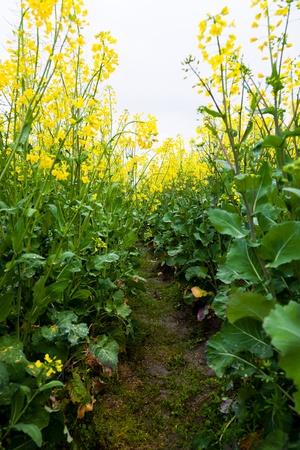 oilseed: Path through oilseed blossom, Oilseed rape for biofuel
