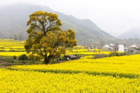 oilseed: Beautiful spring rural landscape in China  Oilseed rape are blooming  Stock Photo