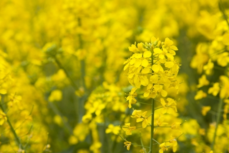 oilseed rape: Fresh oilseed rape blooming in spring