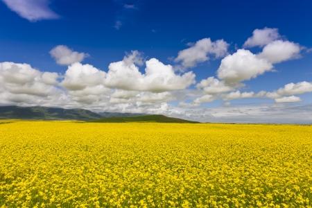 oilseed rape: Canola field Stock Photo