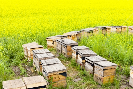 beekeeping: Wooden beehives on oilrape meadow