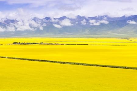 oilseed rape: Rural landscape, Qinhai Province, the west region of China  Stock Photo