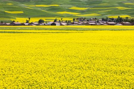 中国の農村風景 - 菜の花畑にある村