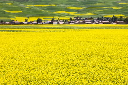asian house plants: Chinese rural landscape - a village located at rape field