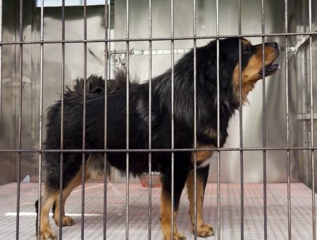 adopt: The purebred mastiff in cage Stock Photo