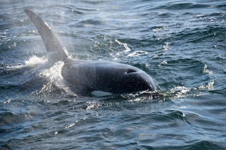 cetacea: Killer whale