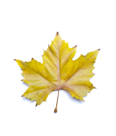 sycamore leaf: autumn sycamore leaf
