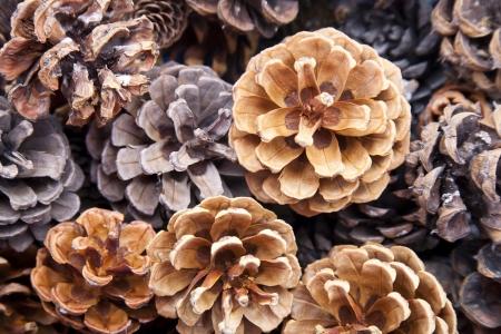 pinecone: Background of autumn pine cones