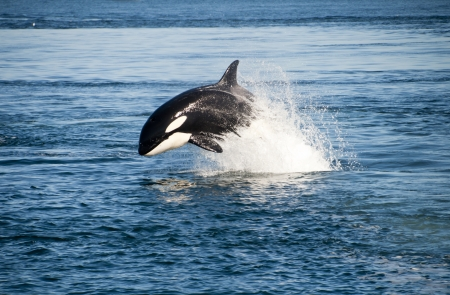 whale: Killer whale jumping in the wild