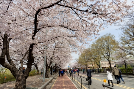 Seoul, Korea - April, 19th 2013. The ninth Yeouido Spring Flower Festival is being held in Yeouiseo-ro (Yunjung-no, the road behind the National Assembly). Over 1,600 cherry trees are in full blooms. Visitors are enjoying the blossoms.