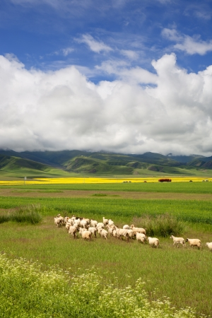 grazing land: Grazing sheep