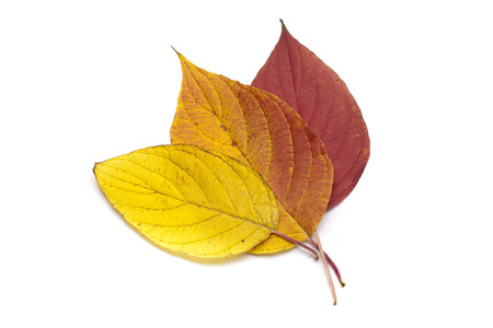 sear and yellow leaf: Autumn leaves on white background.