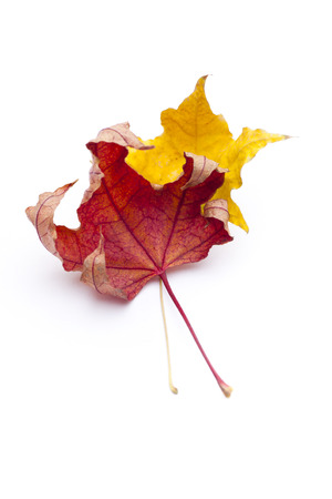 sear and yellow leaf: autumn maple leaves Stock Photo