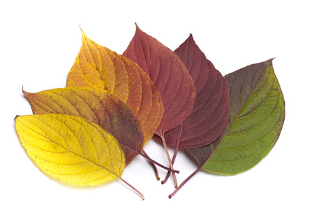 sear and yellow leaf: Autumn leaves