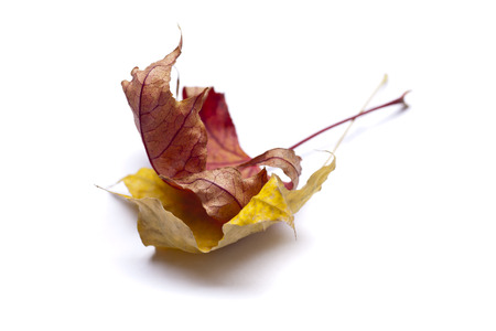 sear and yellow leaf: Dry autumn leaves