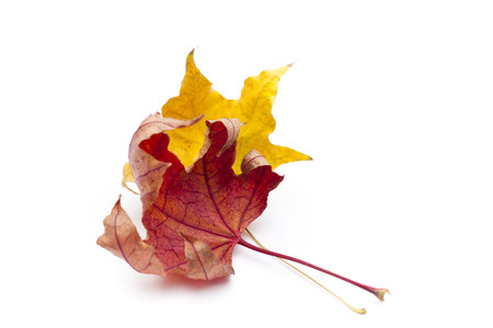 sear and yellow leaf: dry autumn leaves Stock Photo