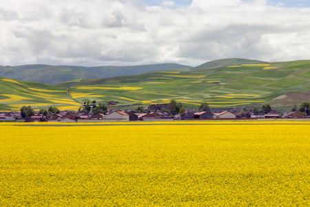 oilseed rape: Rural landscape of blooming oilseed field, Qinghai, China.