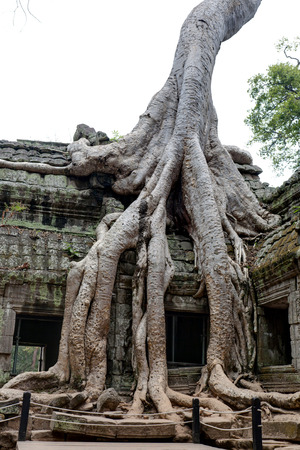 Ta Prohm Khmer ancient temple in jungle forest, Angkor Wat Cambodia.