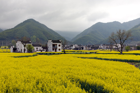 terraced: Beautiful rural landscape in China. blossom of oilseed in spring raining day. Stock Photo