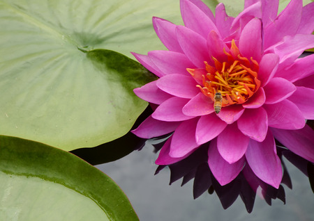 Close up of pink water lily 免版税图像