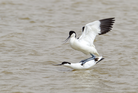 lagoon: Two mating Avocets on water Stock Photo