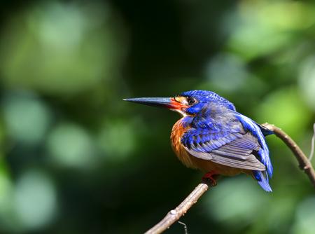 Black-capped Kingfisher Halcyon pileata