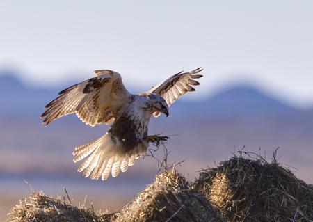 zopilote: Un halcón volando buteo hemilasius Foto de archivo