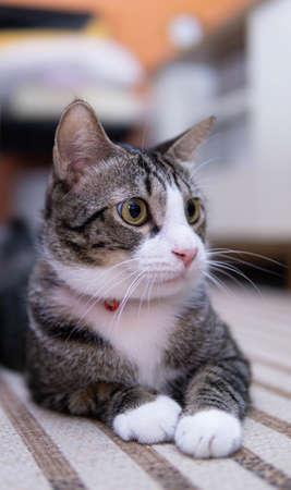 A cute male domestic cat in a living room Banco de Imagens