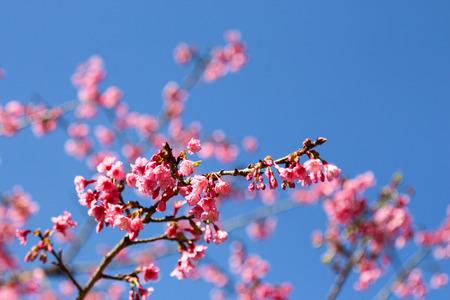Soft focus Cherry Blossom or Sakura flower on sky background
