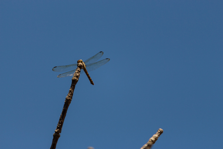 white perch: Dragonfly perched on a tree branch background sky. Stock Photo