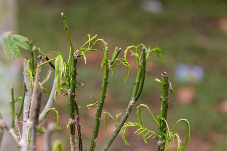 Cha (Cha-om), Acacia pennata vegetables in the garden,Soft focus. Stock Photo