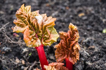 petasites hybridus: Rhubarb spring April 2016 Stock Photo