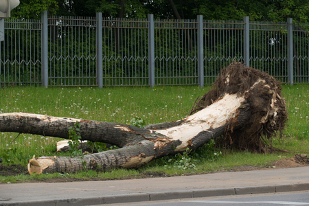 tearing down: Tree twisted with a hurricane in Moscow Stock Photo