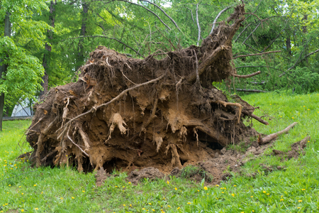 Tree twisted with a hurricane in Moscow Stock Photo