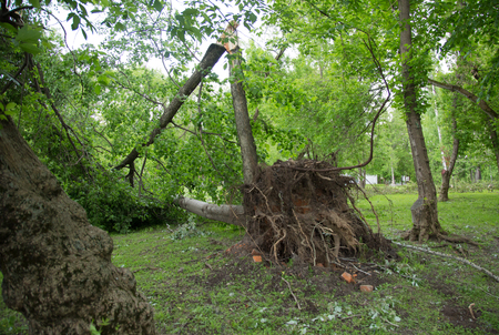 Hurricane in Moscow - turned out the century-old tree