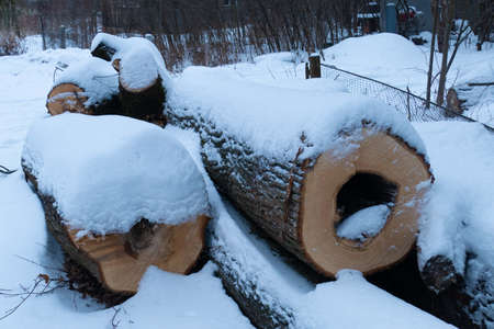 Sawed trees under the snow winter cold