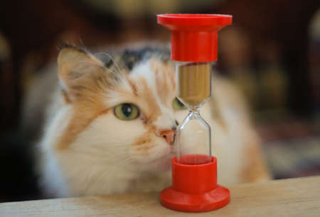 Tricolour cat looks closely at hourglass