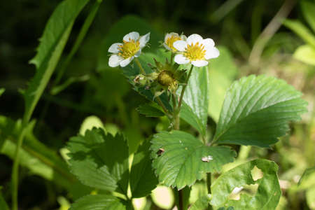 strawberry flowers in the summer at the cottage in Russia