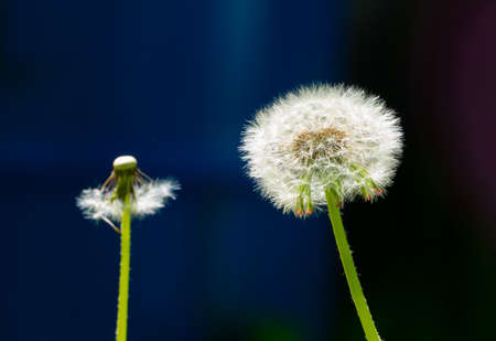 dandelions with white feathers in summer 写真素材