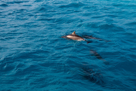 free dive: dolphin in the water Stock Photo