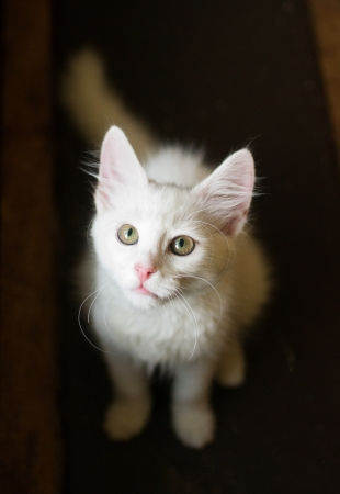White kitten with green eyes looks upwards Stock Photo - 21772485