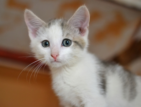 gray eyes: A little scared white kitten with gray eyes