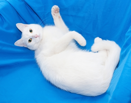 foreleg: White cat with yellow eyes lying in blue chair, raising foreleg Stock Photo